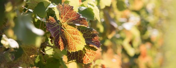 vineyard climate autumn