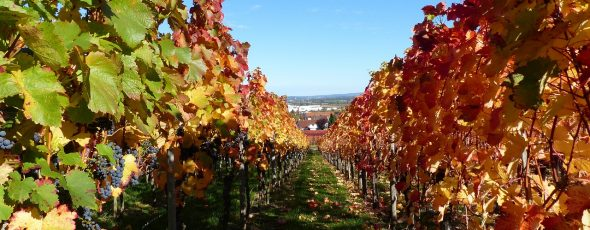 vineyard autumn leaves