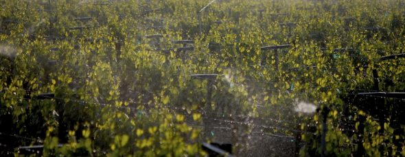 Sprinkler_Irrigation_in_the_vineyard